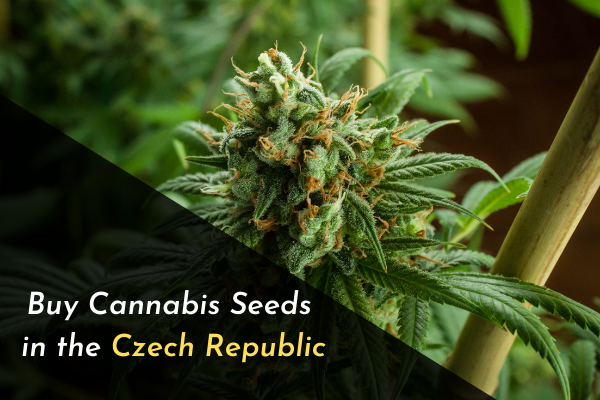 Buy Cannabis Seeds in the Czech Republic