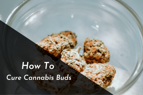 How To Cure Cannabis Buds
