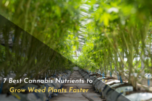 7 Best Cannabis Nutrients to Grow Weed Plants Faster