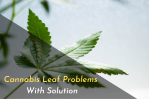 Cannabis Leaf Problems With Solution